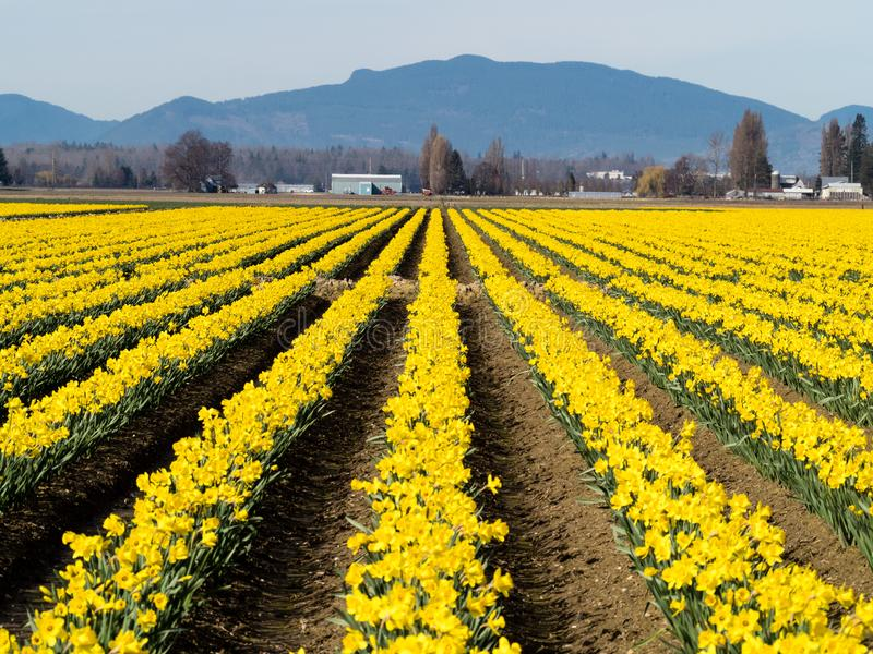 Blooming daffodil fields in Washington state. Rows of blooming daffodils on the fields in Skagit valley - Washington state, USA royalty free stock images