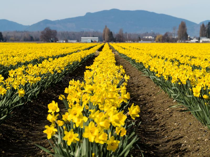 Blooming daffodil fields in Washington state. Rows of blooming daffodils on the fields in Skagit valley - Washington state, USA stock photo