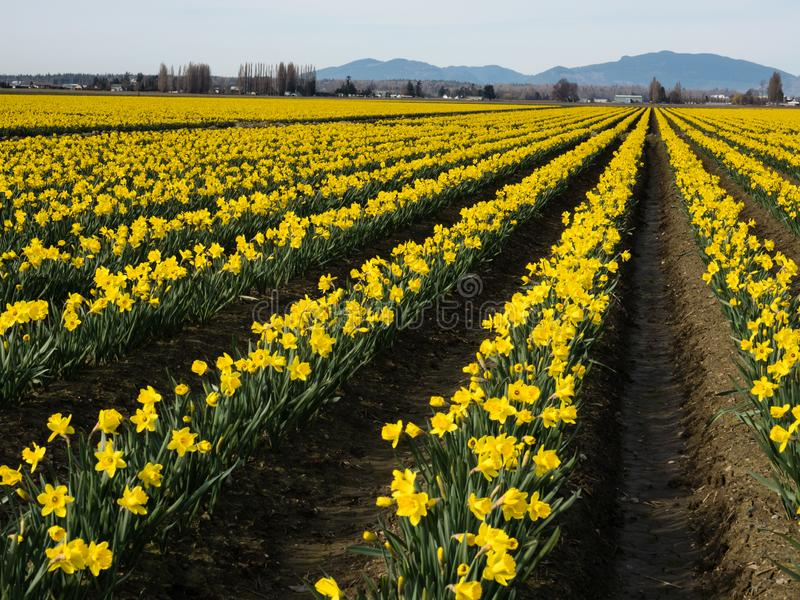 Blooming daffodil fields in Washington state. Rows of blooming daffodils on the fields in Skagit valley - Washington state, USA royalty free stock photography