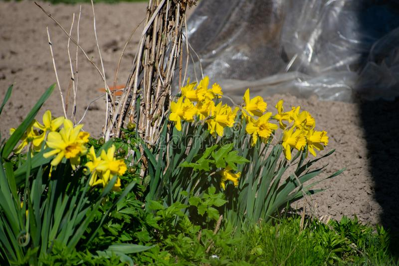 Blooming daffodils in the garden, spring flowers. Yellow Daffodils royalty free stock image