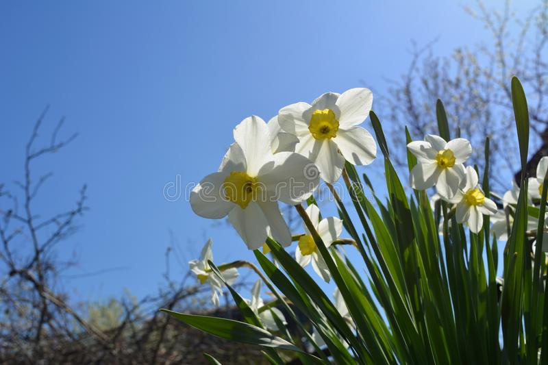 Blooming daffodils in spring garden. Beautiful white and yellow flowers on the background of clear blue sky stock photos