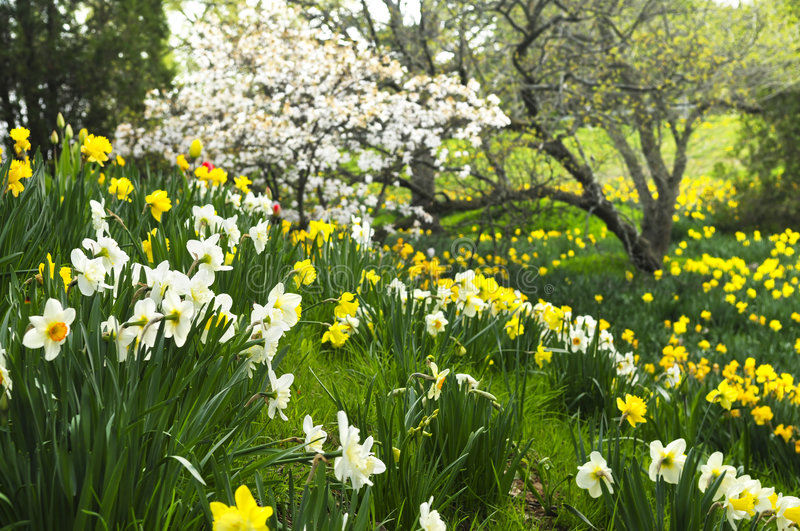 Blooming daffodils in spring park. Field of blooming daffodils in spring park royalty free stock image
