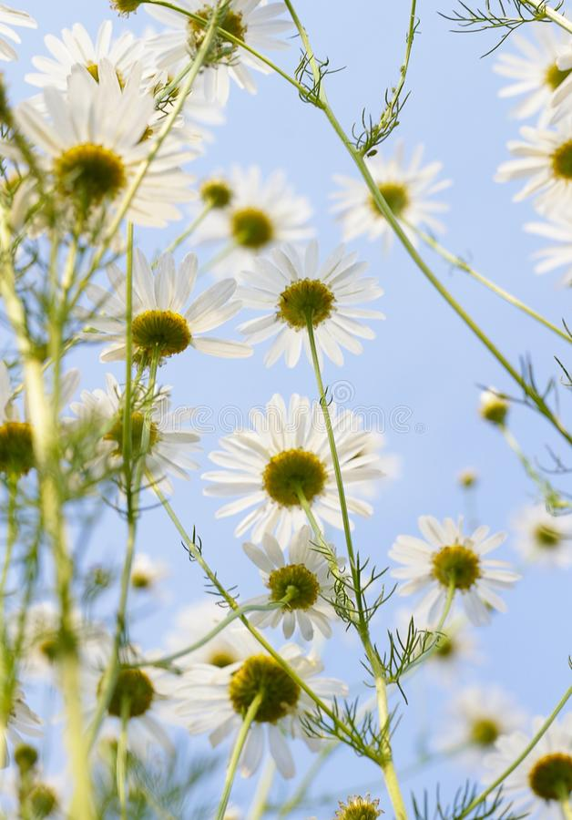 Blooming daisy against a blue sky. White yellow blooming meadow flower stock photo