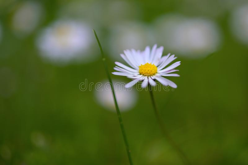 Blooming daisy in the green lawn, weed or beautiful flower, close up shot with copy space, very narrow depth of field. Blooming daisy in the green lawn, weed or royalty free stock images