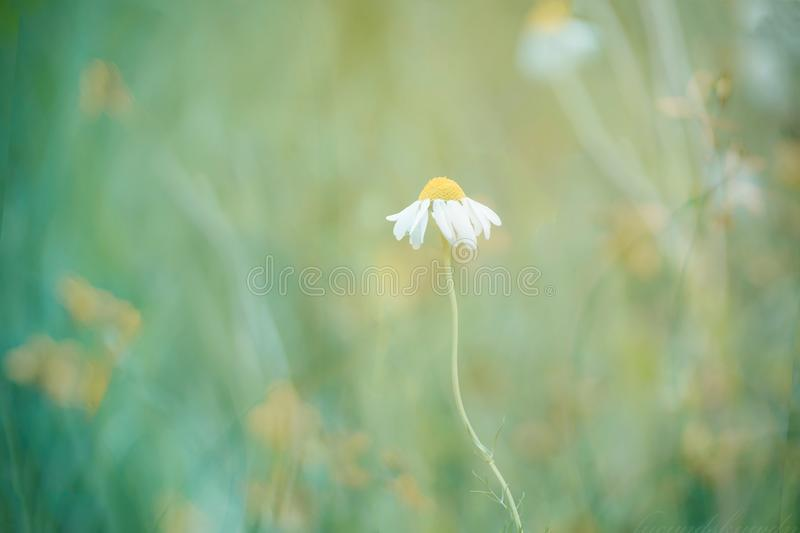 Blooming daisy in the sun. Beautiful nature scene with blooming daisy in the sun. Chamomile flower. Summer background. Blooming medical chamomile. Alternative royalty free stock photography