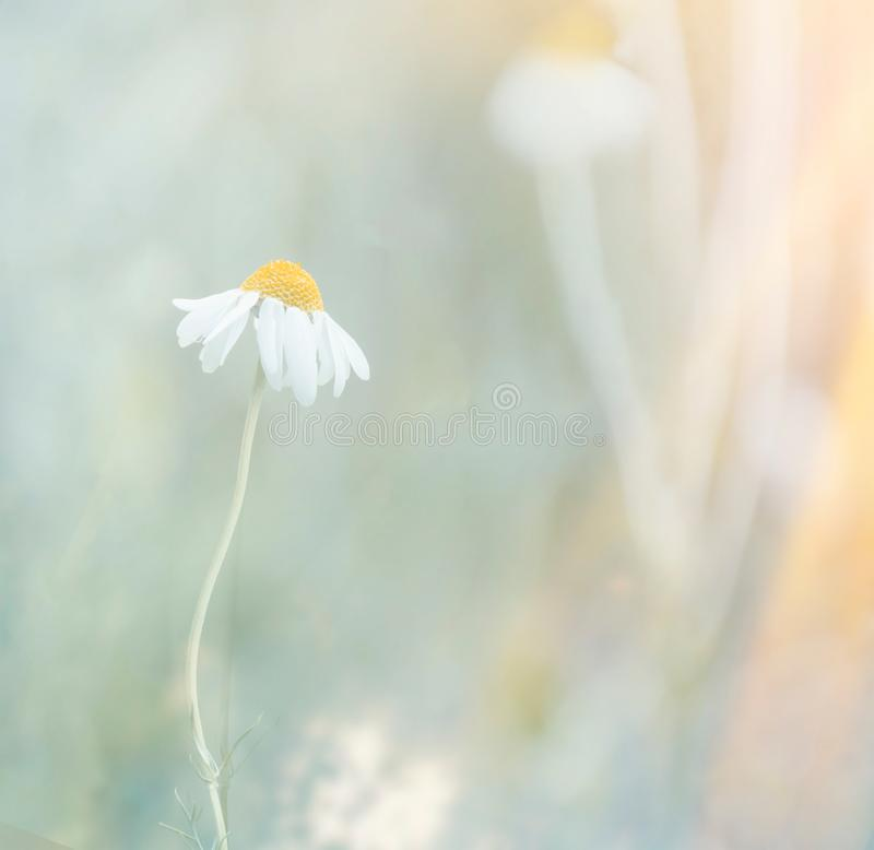 Blooming daisy in the sun. Beautiful nature scene with blooming daisy in the sun. Chamomile flower. Summer background. Blooming medical chamomile. Alternative stock image