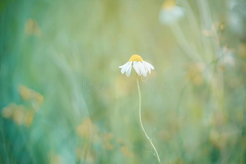 Blooming daisy in the sun. Beautiful nature scene with blooming daisy in the sun. Chamomile flower. Summer background. Blooming medical chamomile. Alternative stock photography