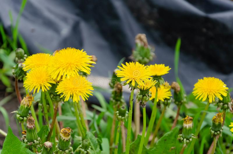Blooming dandelion flowers on a green grass royalty free stock photography