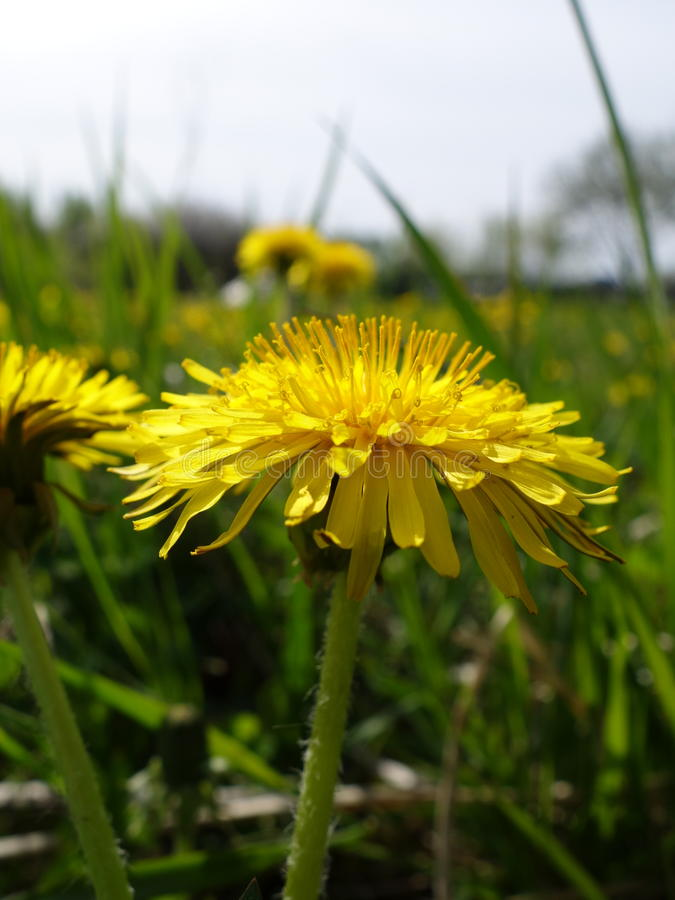 blooming dandelion stock photos
