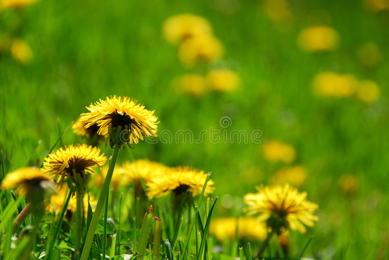 Blooming dandelions stock photography