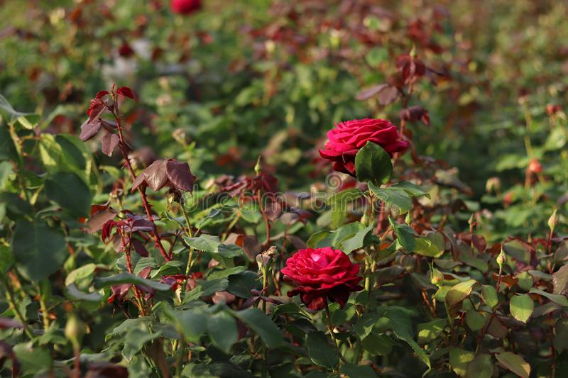 A blooming dark red roses on green background. Roses in a natural environment. Summer background. Nature scene with the burgundy roses in the park. Beautiful stock images