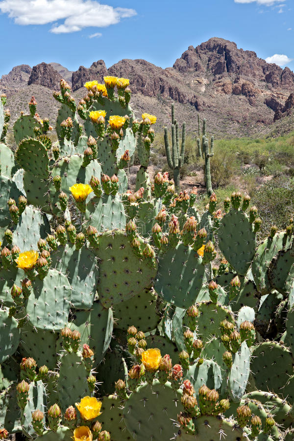 Blooming Desert. Blooming Prickly Pear Cactus in Superstition Wilderness royalty free stock photos