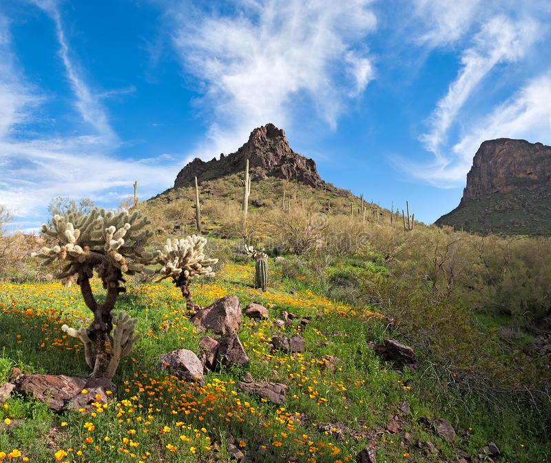 Blooming Desert. Blooming Sonoran Desert at Picacho Peak State Park royalty free stock photo