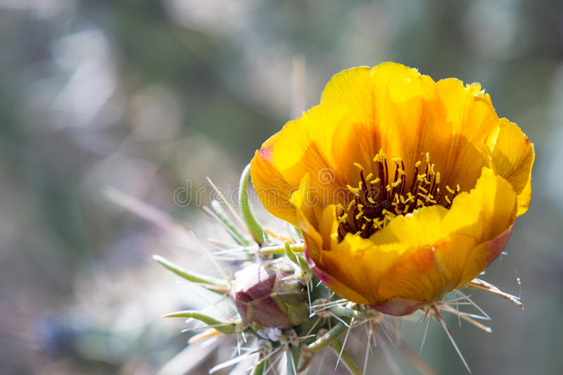 Download Blooming desert cactus stock image. Image of green, outdoors - 53665121