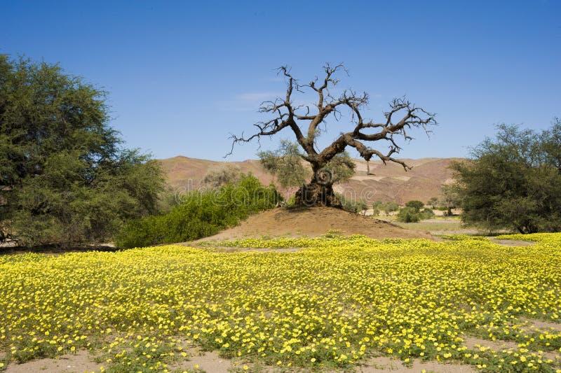 Blooming desert, Namibia, yellow wildflowers, orange dunes, dead tree royalty free stock photo
