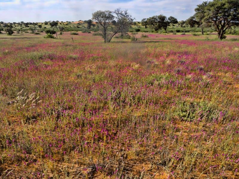 Blooming desert, Kalahari South Africa. The Blooming desert, Kalahari South Africa stock photography