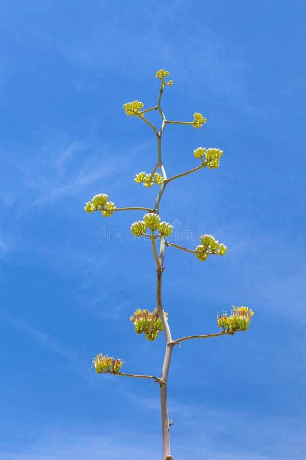 Blooming desert plant in sonora desert museum. In Tuscon, Arizona stock photos