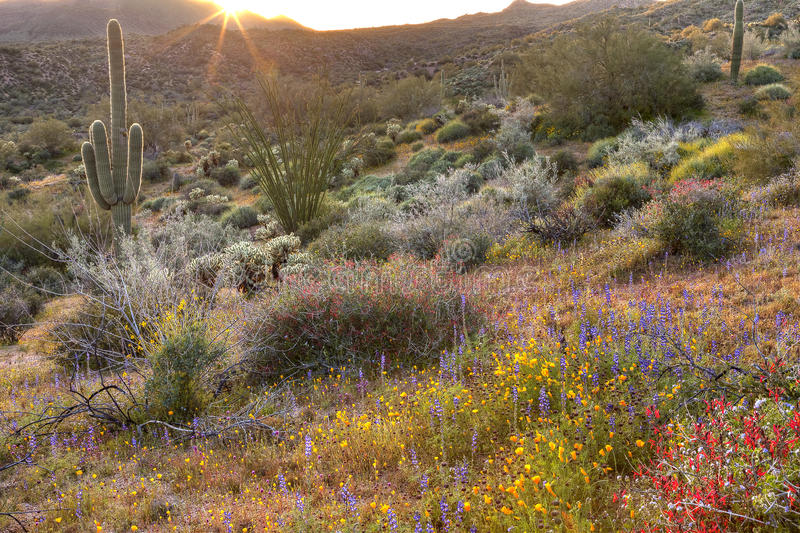 Blooming Desert. Blooming Sonoran Desert catching day's last rays royalty free stock photo