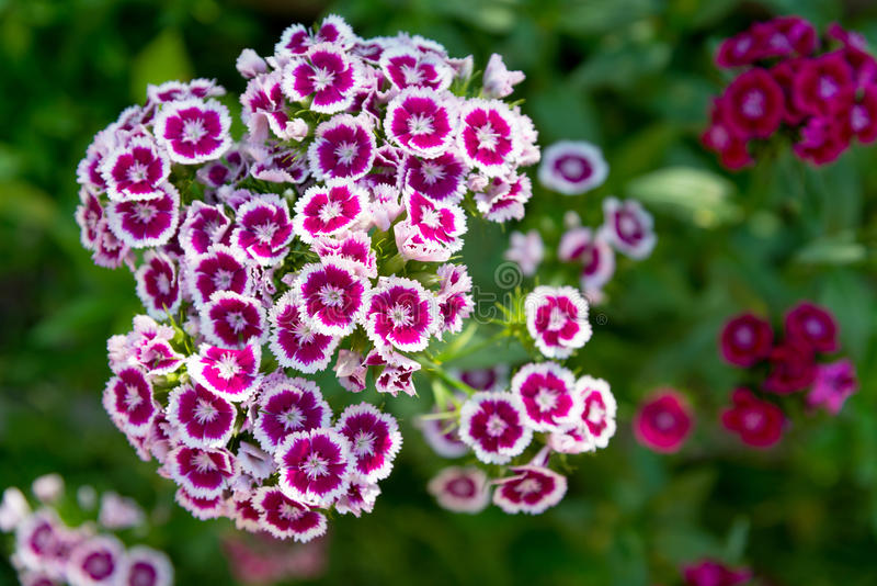 Blooming Dianthus barbatus, sweet william flower royalty free stock photography