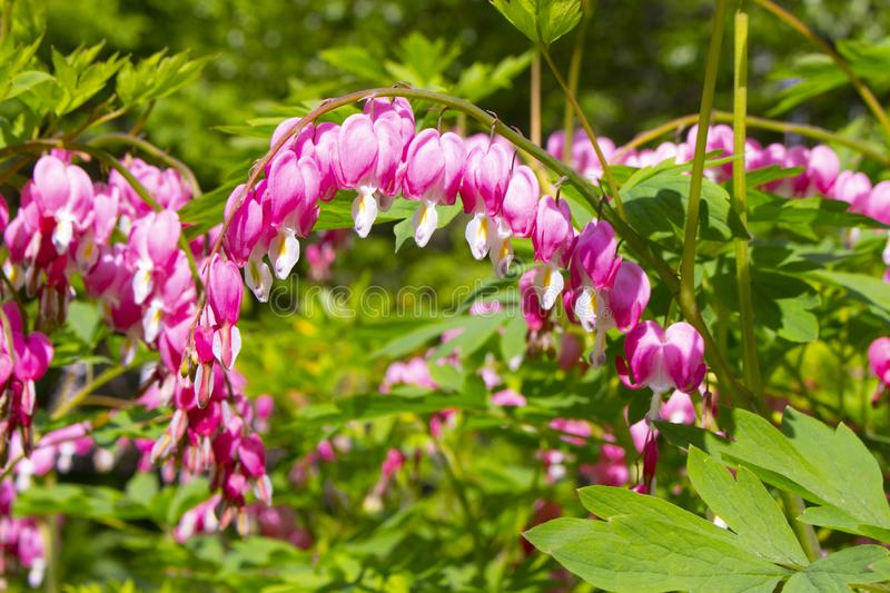 Blooming Dicentra Spectabilis of the Papaveraceae family. Popular name Bleeding Heart, Pink purple flowers in the shape of a heart. With a white drop on the tip royalty free stock images