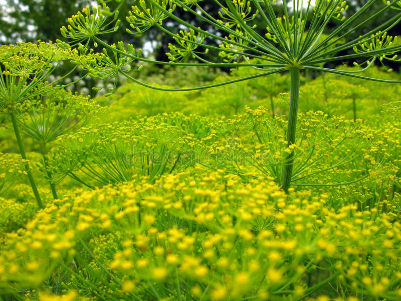 Blooming dill. In the vegetable garden stock images