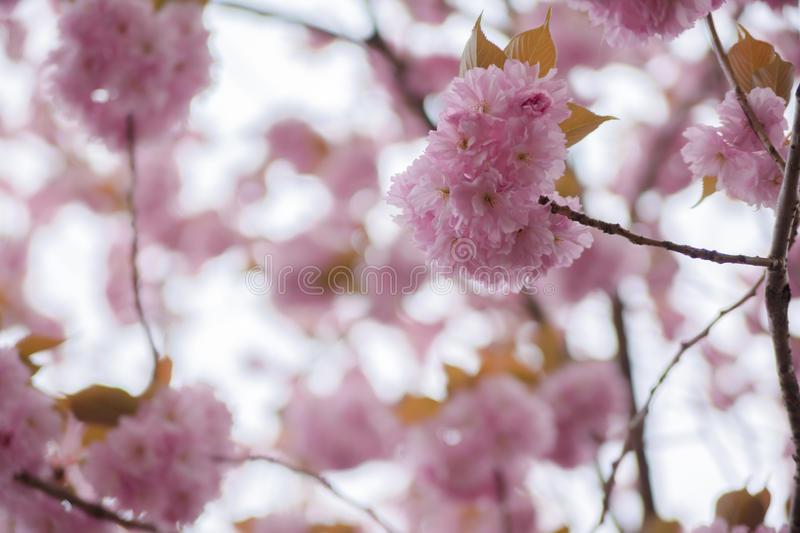 Blooming double cherry blossom branches, close up stock images