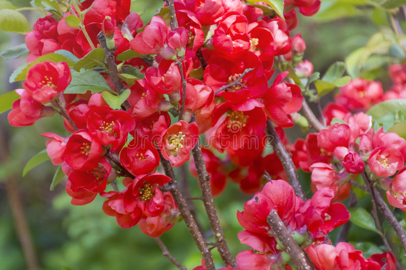 Blooming Dwarf quince bush with red spring flowers royalty free stock photography
