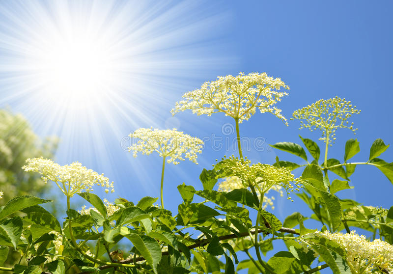 Blooming elderflower. (Sambucus nigra) on the background sunny sky royalty free stock images