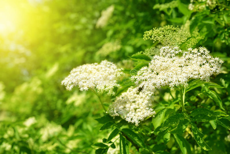 Blooming elderflower. (Sambucus nigra) on spring royalty free stock images