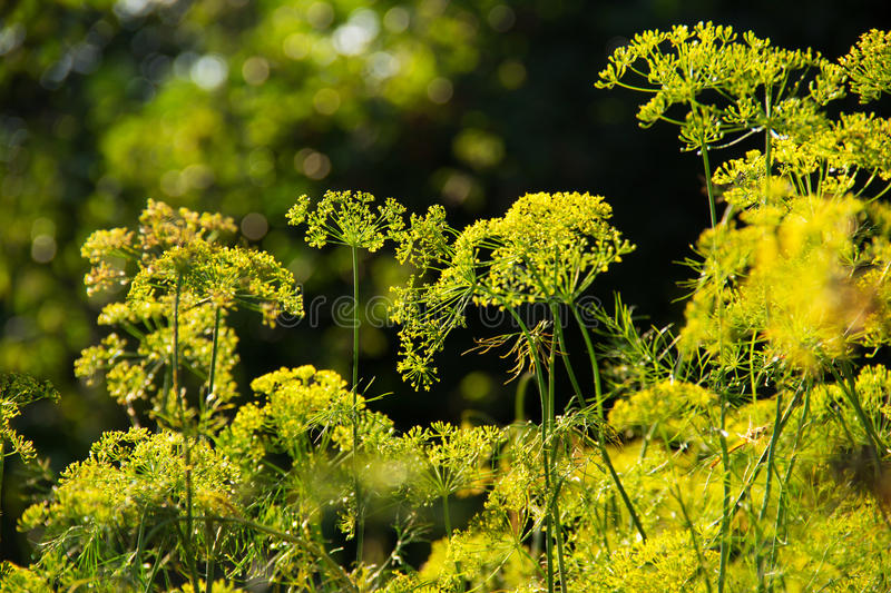 Blooming fennel in a summer garden. Blossoming dill. Dill seeds royalty free stock image