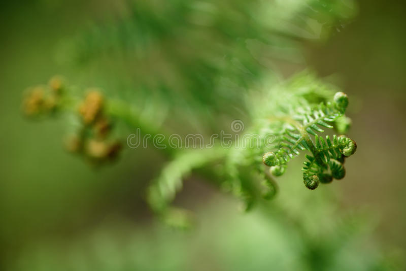 Blooming fern - may 2016 stock photography