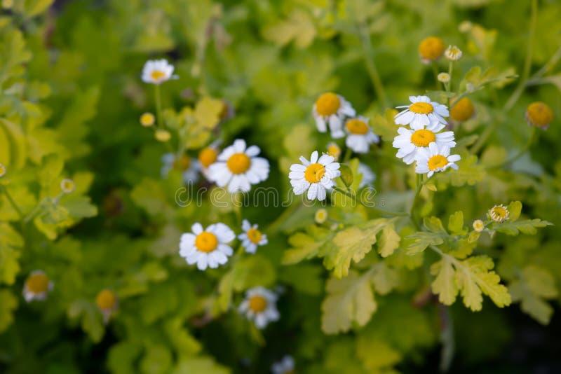 Blooming feverfew, Tanacetum parthenium stock images