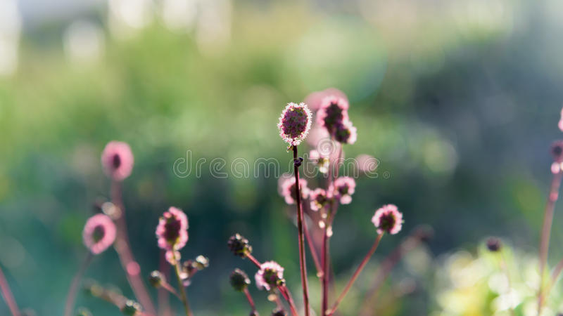 Blooming field plant under rays of the summer sunset. Blooming field plant under rays of summer sunset royalty free stock image