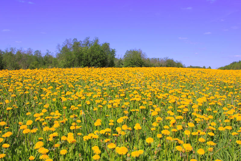 Blooming field, Russia stock images