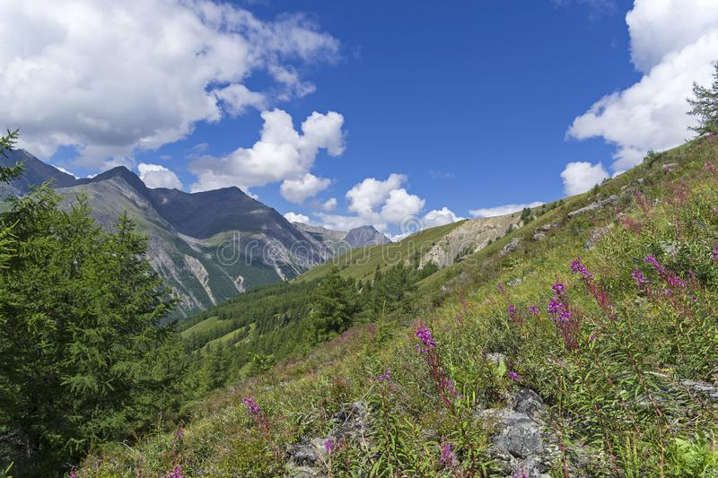 Blooming fireweed on the mountain slope. Altai Mountains, Russia stock image
