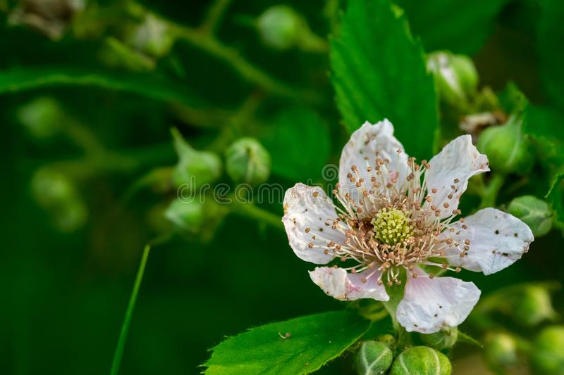 Blooming flower of a bramble. stock image