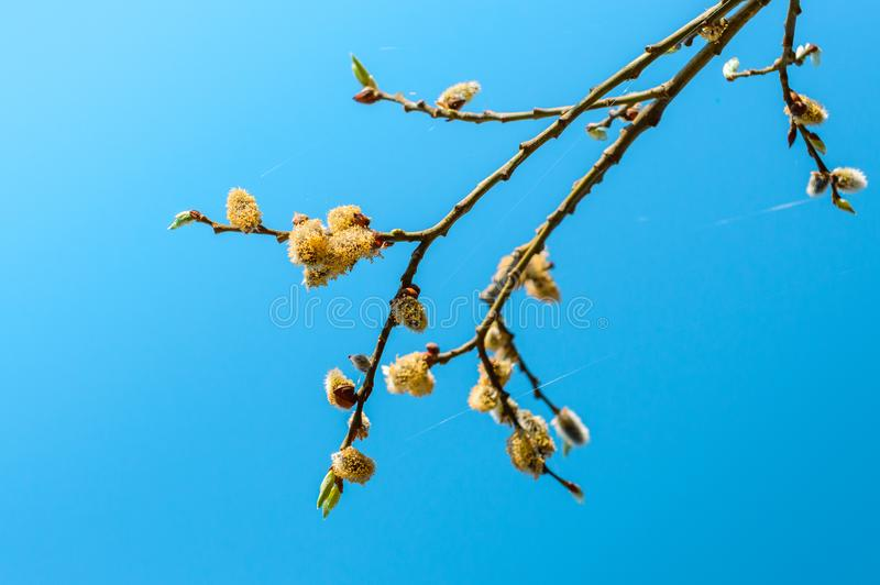 Blooming flower buds on a young cherry tree stock image
