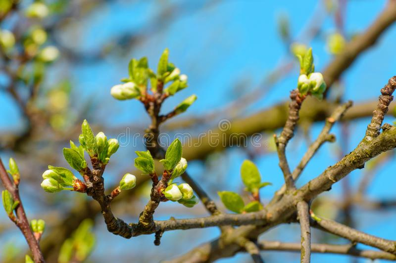 Blooming flower buds on a young cherry tree stock photo