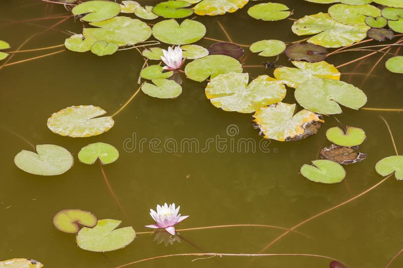 Blooming flower and Lotus leaves floating in clear dark water.  Close up. stock images