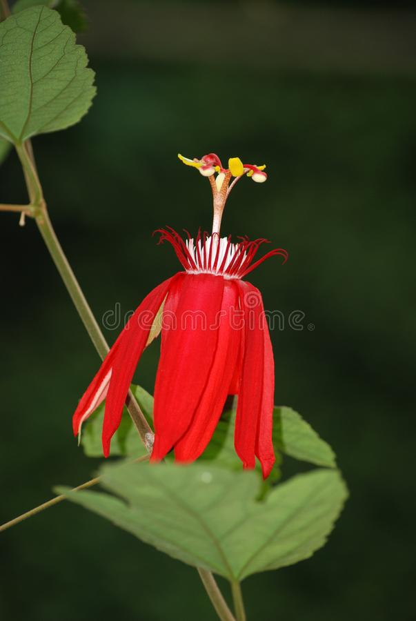 Passiflora Vitifolia - Red Passionflower stock photos