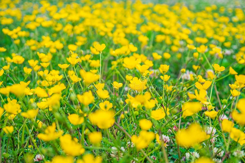 Blooming flower in spring, buttercup, crowfoot stock photo