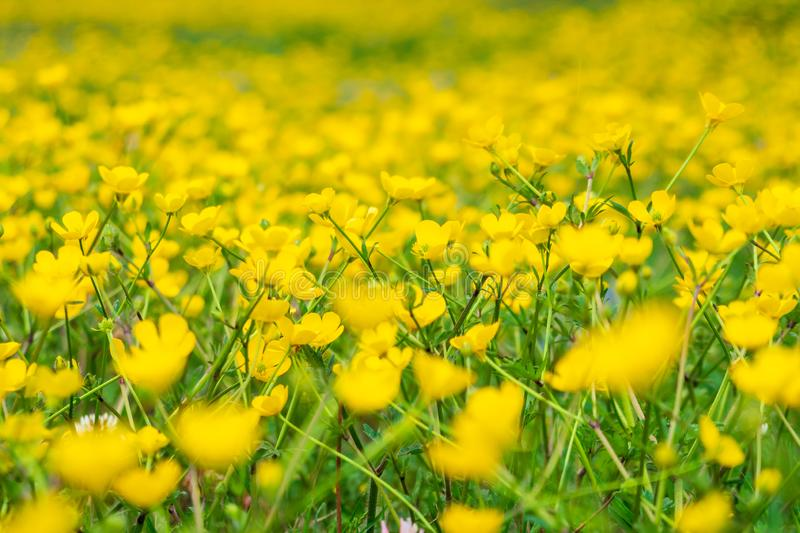 Blooming flower in spring, buttercup, crowfoot stock images