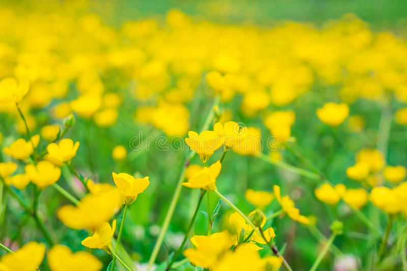 Blooming flower in spring, buttercup, crowfoot royalty free stock images