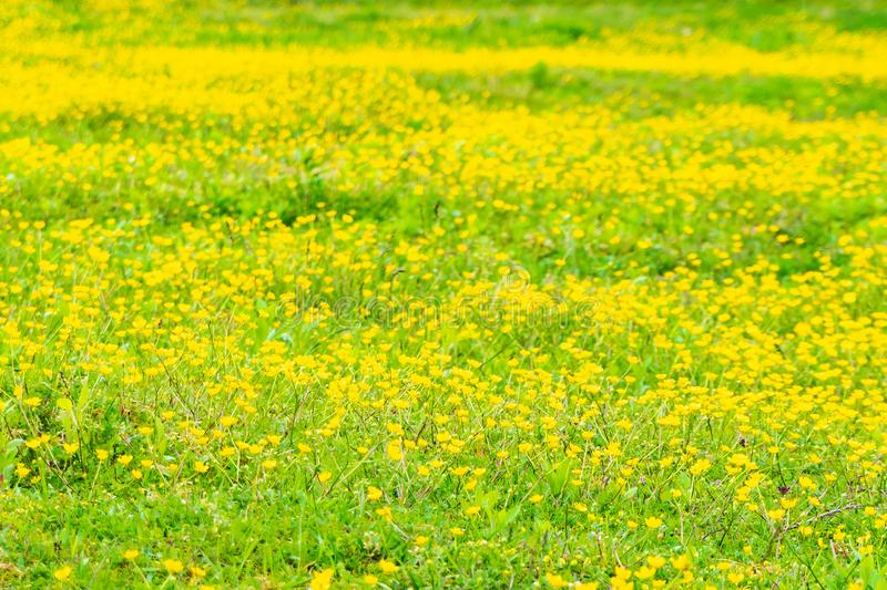 Blooming flower in spring, buttercup, crowfoot stock image