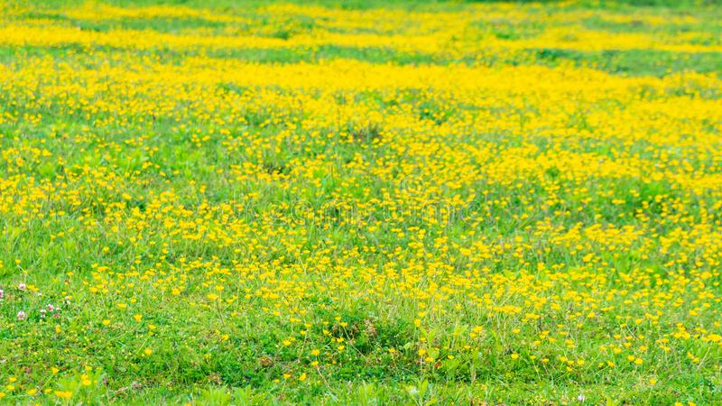 Blooming flower in spring, buttercup, crowfoot royalty free stock photography