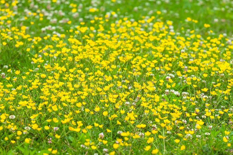 Blooming flower in spring, buttercup, crowfoot royalty free stock photo