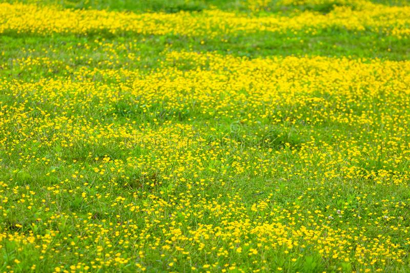 Blooming flower in spring, buttercup, crowfoot stock photos