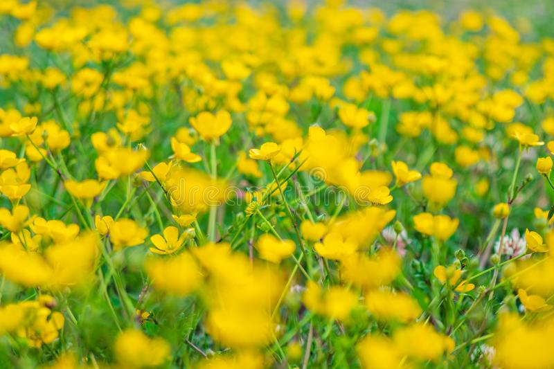 Blooming flower in spring, buttercup, crowfoot stock photography