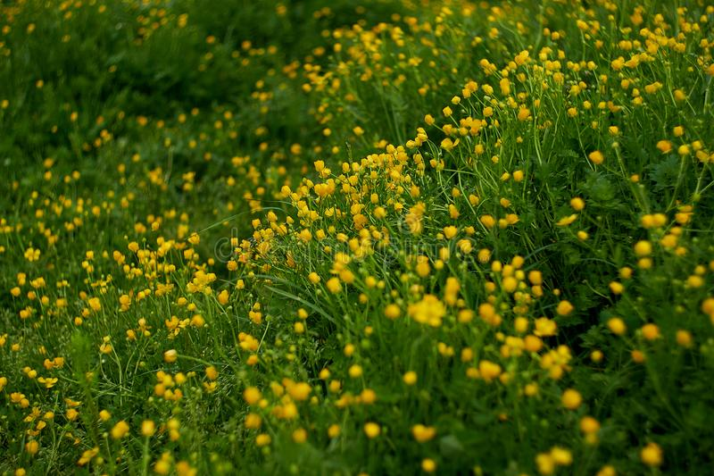 Blooming flower in spring, buttercup, crowfoot, ranunculus. royalty free stock image