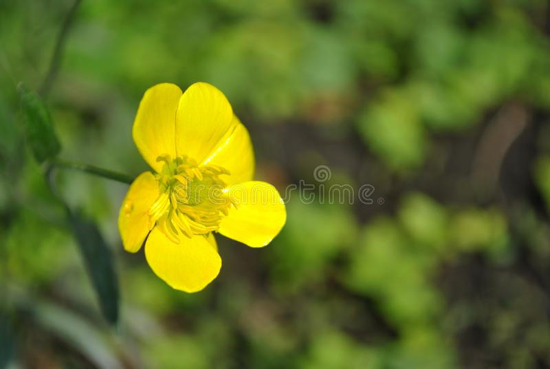 Blooming flower of yellow Caltha buttercup with green leaves blurry background, close up detail. Side view stock photo